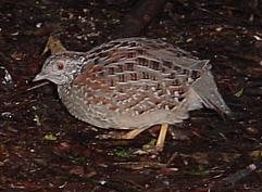 image:Painted_Buttonquail.jpg
