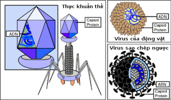 Three types of viruses: a bacterial virus, otherwise called a  (left center); an animal virus (top right); and a  (bottom right). Viruses depend on the host cell that they infect to reproduce. When found outside of a host cell, viruses consist of genomic , either  or  (depicted as blue), surrounded by a protein coat, or , with or without a  . Retroviruses contain RNA and reverse transciptase