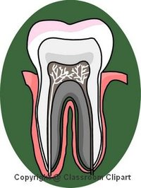 Section of a human Tooth Image provided by Classroom Clip Art (http://classroomclipart.com)