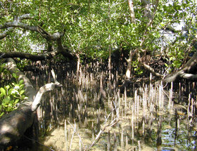 The mangrove species, Sonneratia, growing on the landward margin of the reef flat on  and showing abundant pneumatophores