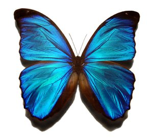 The iridescence of the  butterfly wings.