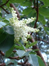 Pacific Madrone blossom
